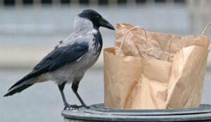 crow, bird, animal-6650506.jpg