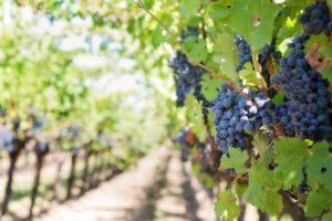 grapes, vines, grapevines-553462.jpg